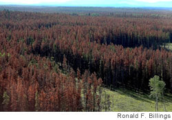 Trees destroyed by mountain pine beetle in British Columbia, Canada