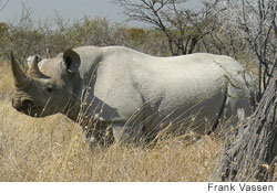 This black rhinoceros in Etosha National Park, Namibia, is one of several species endangered by hotter and drier conditions