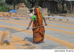 Bangladeshi woman dries rice