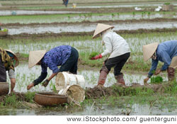 Vietnamese women working in rice fields