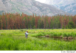 Trees destroyed by pine beetle in Rocky Mountains, Colorado, USA