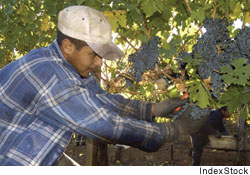 Grape harvesting in Napa Valley, California